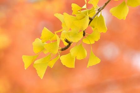 Ginkgo biloba leaf Stock Photo
