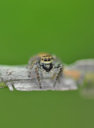 jumping spider: Jumping spider