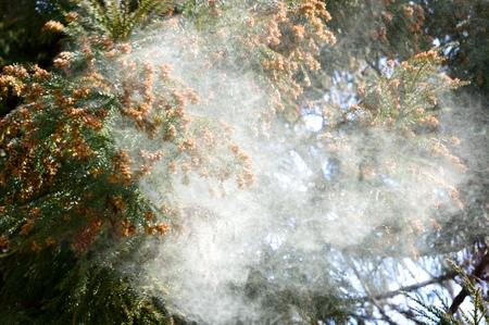Cedar Tree pollen Фото со стока - 48456064