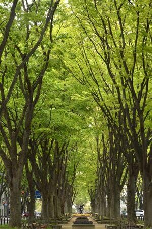 遊歩道のケヤキ並木と