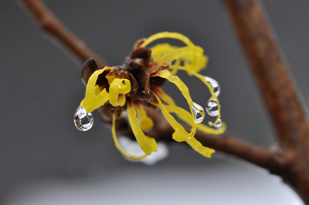 hazel: Japanese witch hazel Stock Photo