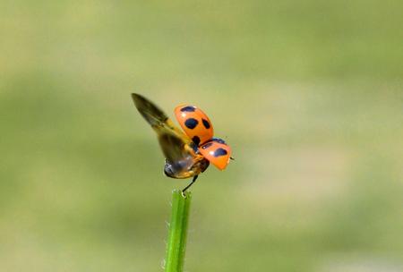 septempunctata: Ladybird Stock Photo