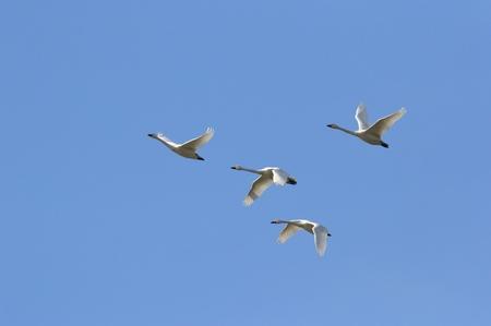白鳥 写真素材