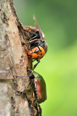 poisonous insect: Hornets