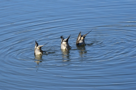 northern: Northern Pintail Stock Photo