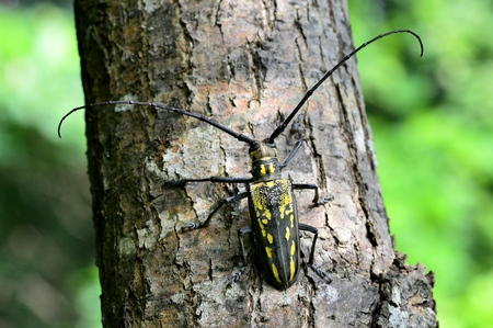 longhorn: A Longhorn Beetle Stock Photo