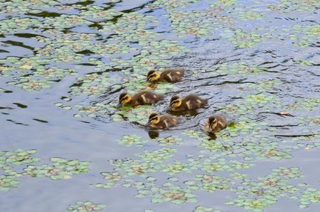 pollitos: polluelos con pico de pato al contado