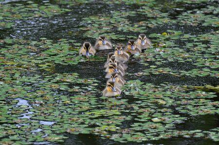 chicks: Spot-billed duck chicks Stock Photo