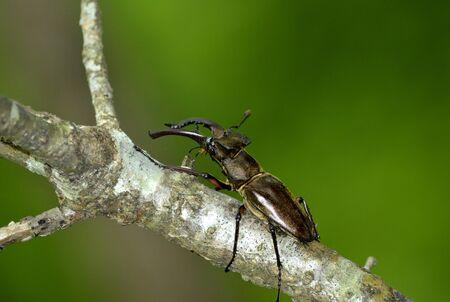 Miyama Stag Beetle