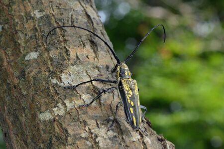 White stripe long-horned beetle
