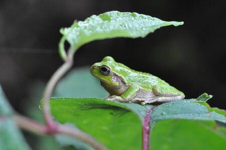 hyla: Japanese tree frog Stock Photo