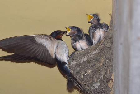 Chicks of swallow