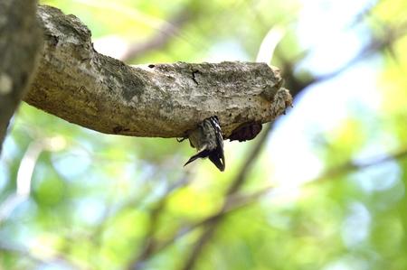 pygmy: Nest of Pygmy Woodpecker