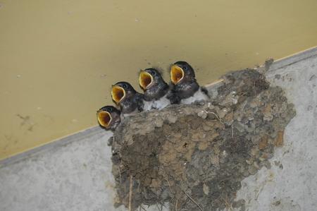 chicks: Chicks of swallow