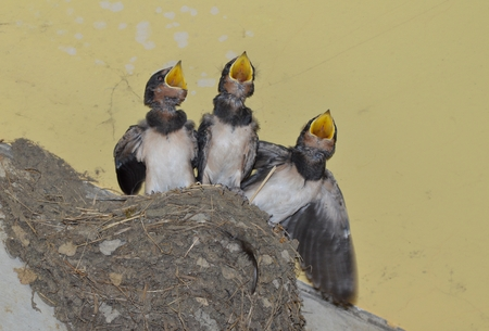 swallow: Chicks of swallow