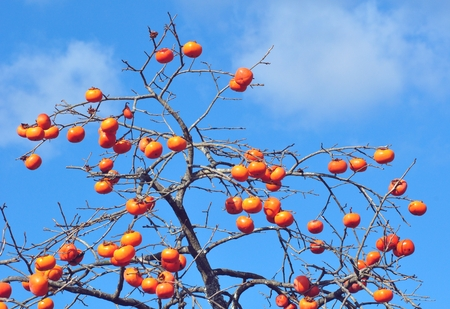 the fruitful: Persimmon Stock Photo
