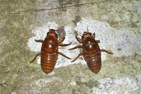 cicada: Las larvas de la cigarra