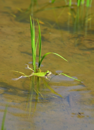 Frog in paddy field