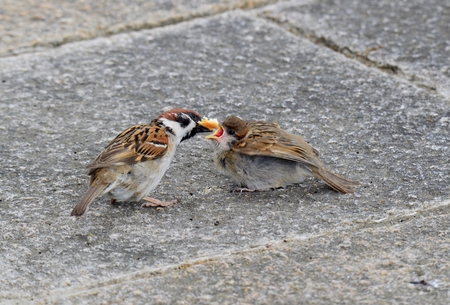 nicknamed: Sparrow family