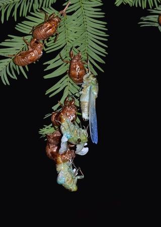 emergence: Cicada emergence