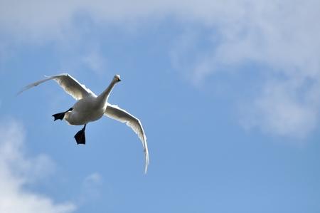 living organism: Swan Stock Photo