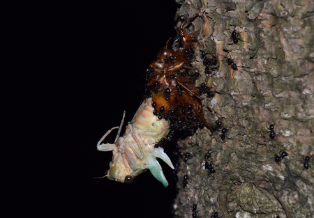 Ants Pounce on the molting cicada Stock Photo