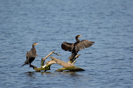 great: Great Cormorant