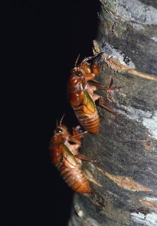 cigarra: Las larvas de la cigarra