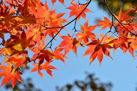 acer palmatum: Autumn leaves