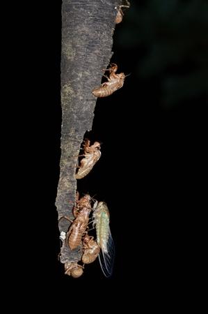 emergence: Molting of Meimuna opalifera Stock Photo