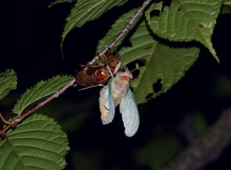 emergence: Cicada molting