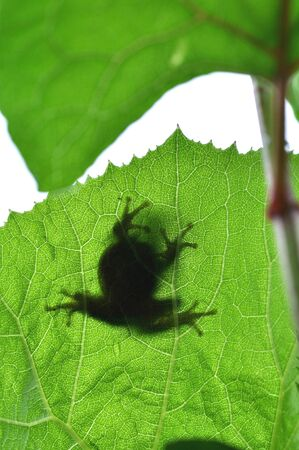 living organisms: In butterbur leaf frogs shadow
