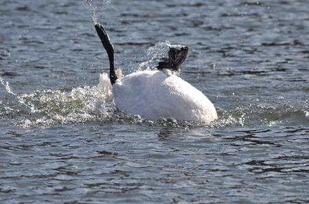 bather: Swan bather