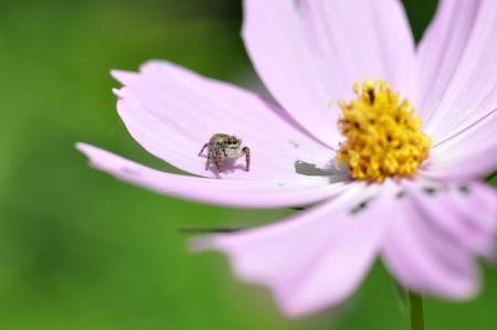 コスモスの花にハエトリグモ 写真素材