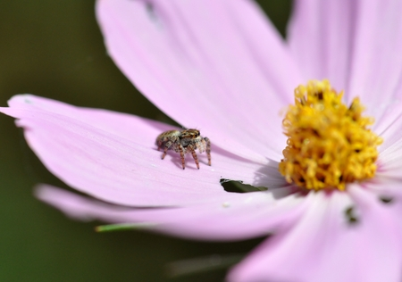 Jumping spider on the cosmos flower