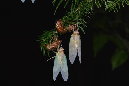 cicada: la muda de la cigarra Foto de archivo