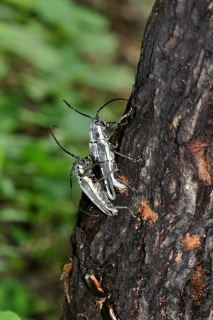A Longhorn Beetle Stock Photo
