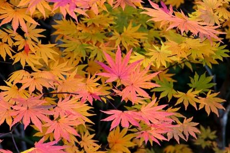 acer palmatum: Maple Leaf