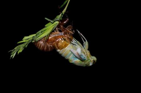 蝉の脱皮 写真素材 - 85333815