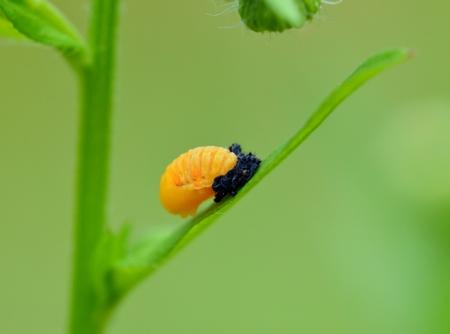 Pupal Ladybird