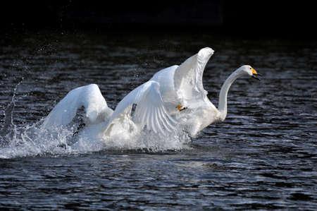 Swans fight Foto de archivo