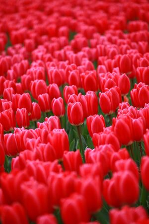 Red beautiful tulips field in spring time with blurred background Standard-Bild