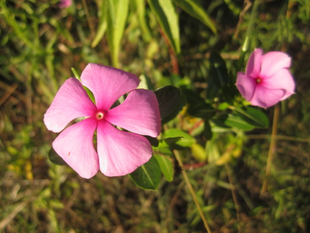 Close up of pink periwinkle flower stock photo picture and royalty close up of pink periwinkle flower stock photo 35898527 mightylinksfo