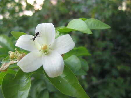 jessamine: formica su arancio gelsomino fiore (corteccia degli alberi cosmetici o satinato legno)