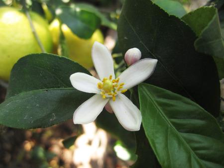 jessamine: arancio jessamine fiore (corteccia di albero cosmetici o satinato legno)