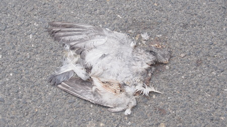 dead bird on the road, bird carcass crushed by car accident