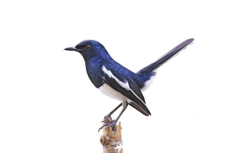 Magpie Robin isolated on white background.
