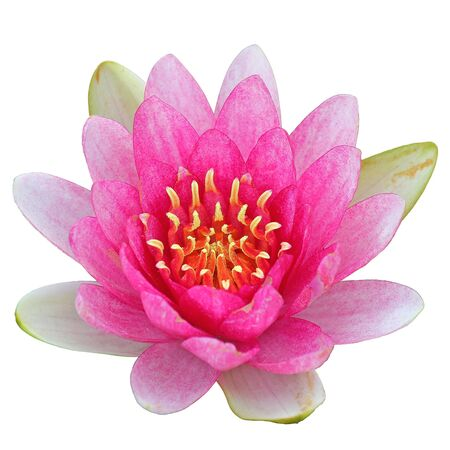 waterlily: A beautiful pink waterlily or lotus flower isolate on white background Stock Photo