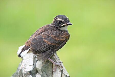 fantail: Pied Fantail bird,Thailand