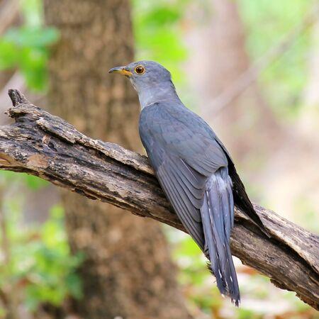 canorus: Cuckoo, Cuculus canorus, single bird on post